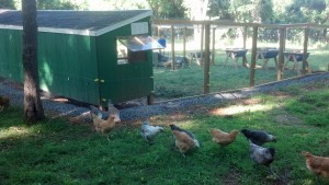 Chickens free ranging