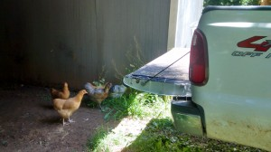 The chickens supervised unloading the hay.