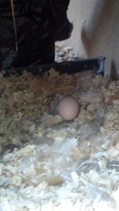 Our first egg, still in the nesting box.