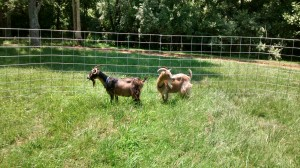 The goats in their new portable pen.
