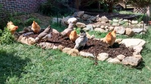 The hens love pecking through new compost