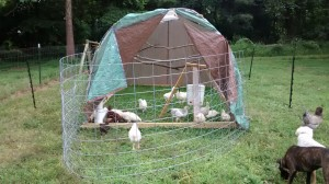 The hens all settled in