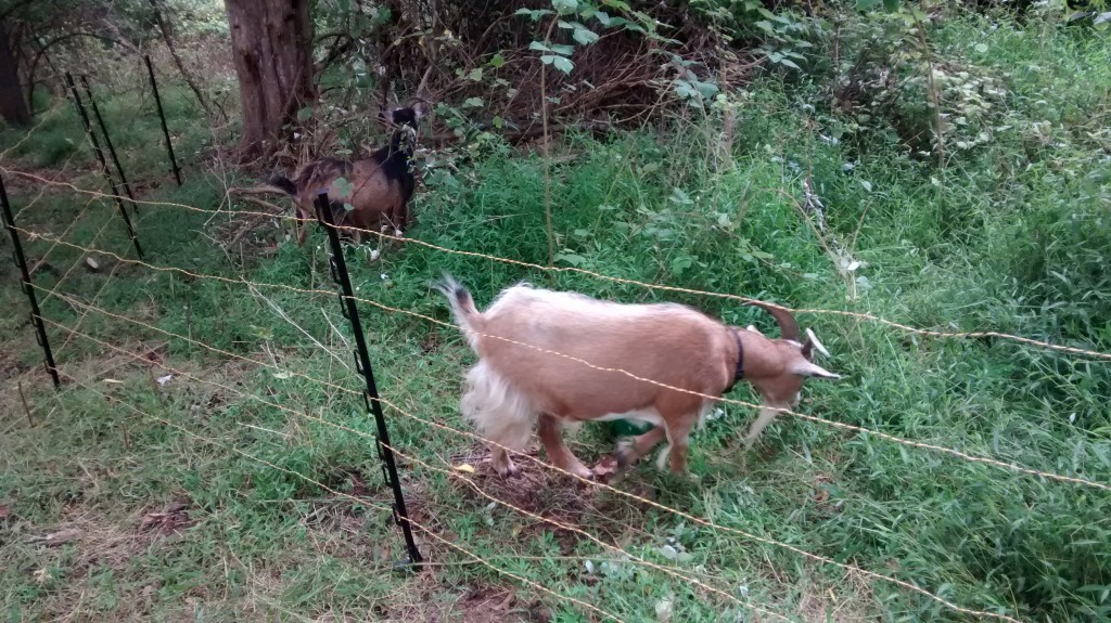 Goats behind an electric fence