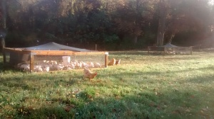 Chicken tractor pens in the morning light.