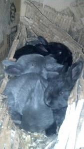 Silver Fox rabbit kits, just under 3 weeks old.