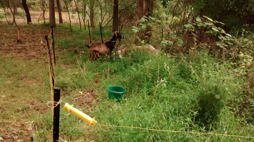 The goats in their new portable electric fencing pen