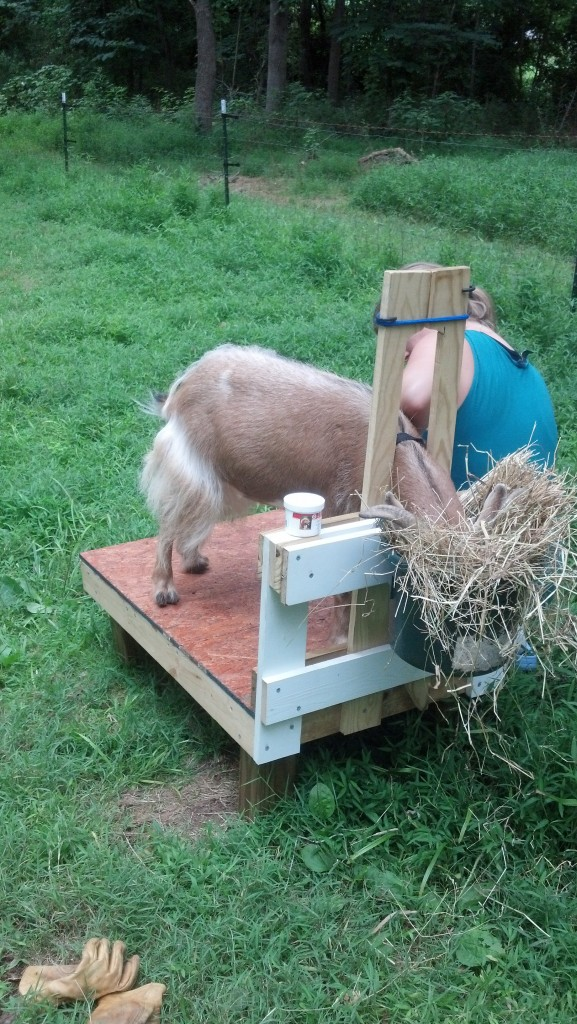 Ash standing on the milkstand getting his hooves trimmed