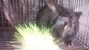 Silver Fox Rabbit enjoying Fodder