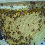 Brood Comb After About 3 Weeks